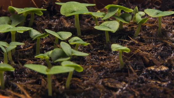 Timelapse of basil growing
