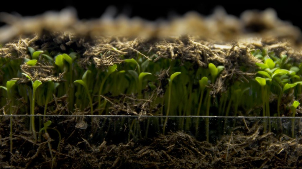 Timelapse cress