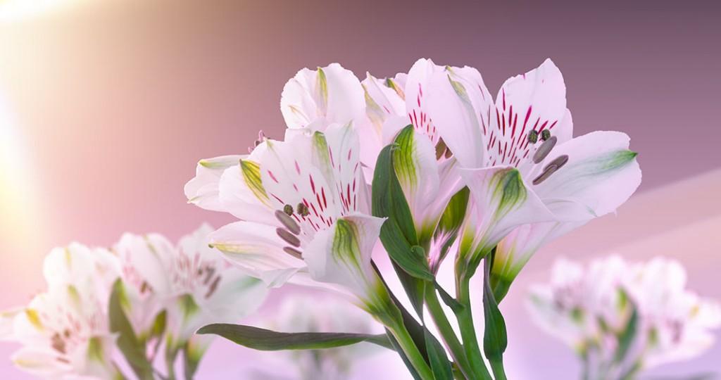 Timlapse flower flourish