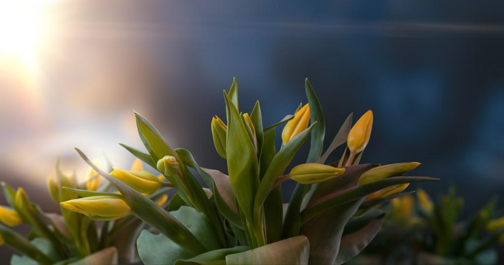 Tulip spring timelapse