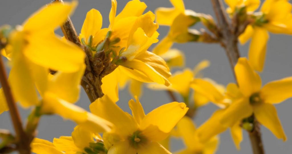 Time lapse forsythia bloom