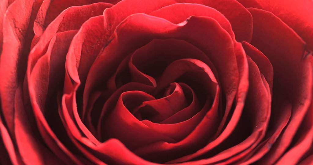 Timelapse rose red
