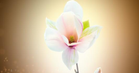 Timelapse magnolia blossom