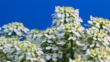 Timelapse white flowers