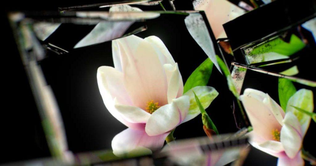 Timelapse magnolia in mirror