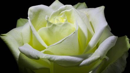 Timelapse white rose