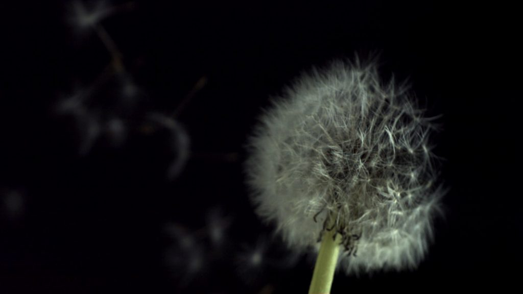 Slowmotion dandelion blown away
